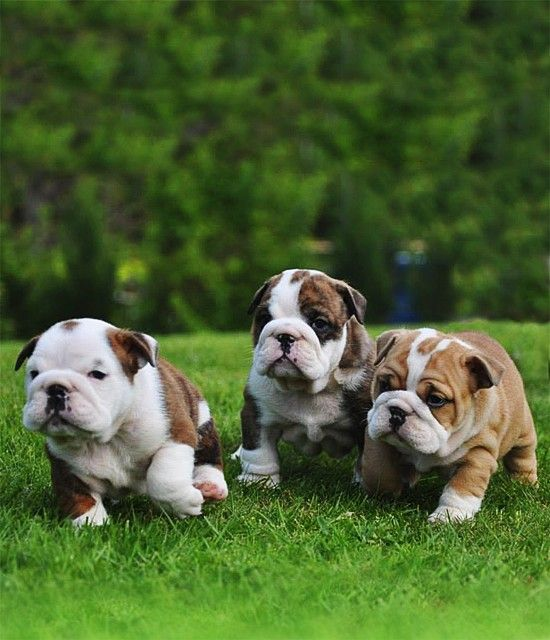 buy english bulldog puppy 98 best buy sell bulldog puppies online images on 1722
