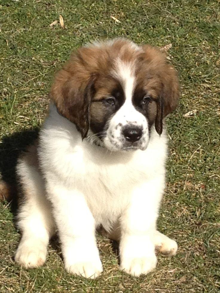 Best 25+ Bernard dog ideas on Pinterest | Saint bernards ...