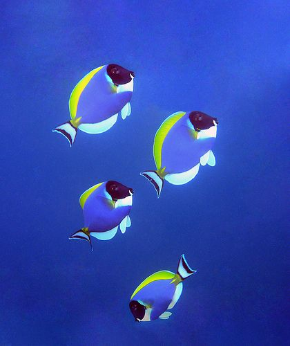 Powder Blue Surgeonfish, Maldives