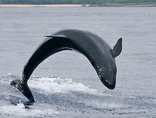 False Killer Whale Breaching