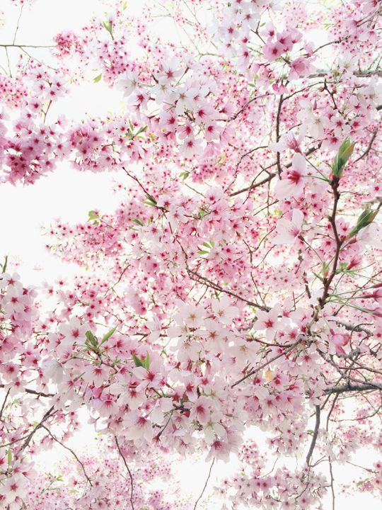 doriimer: When the cherry blossoms bloomed but our love shrivelled - ig: _daisyys