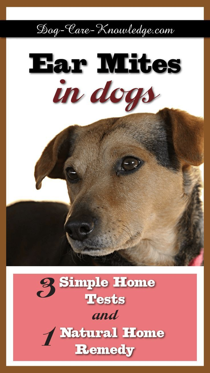 Try This Fail Proof Home Remedy For Treating Ear Mites In Dogs Not Sure What The Signs Are Try These 3 Simple Diy Me Dog Ear Mites Dog Remedies Mites On Dogs