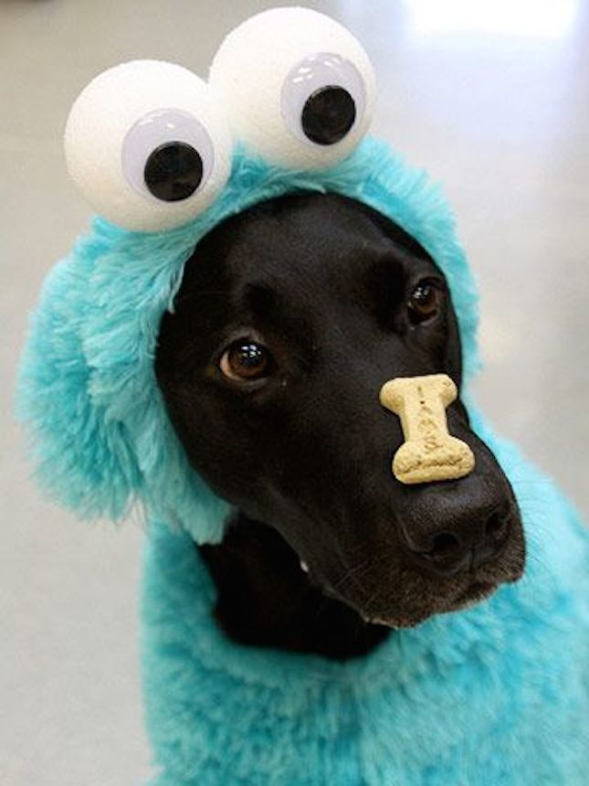 Cookie Monster!!  22 Funny Dog Costumes for Halloween via Brit + Co.