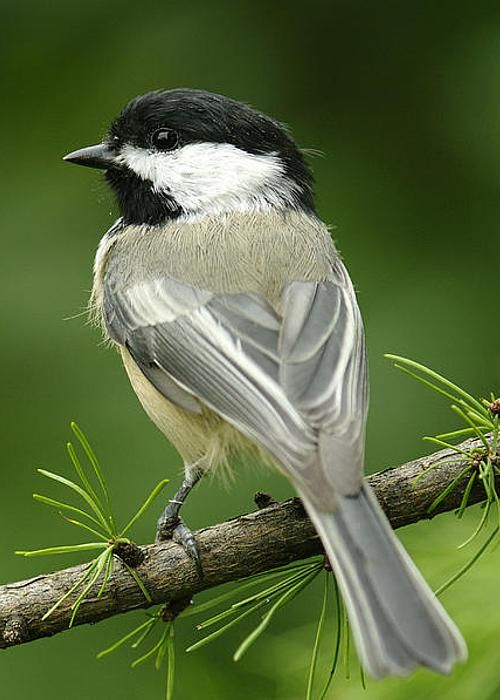 Black-capped chickadee by Steeve Marcoux  (small, nonmigratory, North American songbird that lives in deciduous and mixed forests.   It is the state bird of both Maine and Massachusetts in the United States, and the provincial bird of New Brunswick in Canada.  It is known for its boldness near humans).