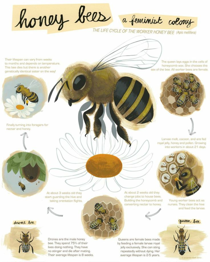The 25+ best Honey bee life cycle ideas on Pinterest | Bee life ...