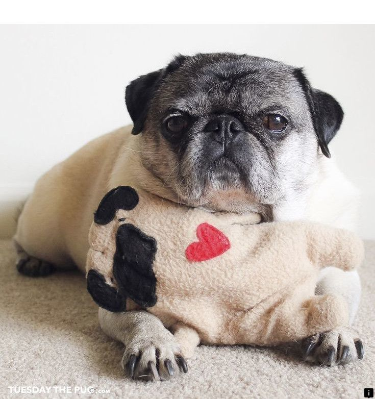Find Out About Pug Puppies For Sale Near Me Check The Webpage For