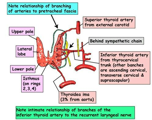 Thyroid blood supply.... Superior thyroid artery in close relationship with External laryngeal nerve ... During thyroidectomy.. Superior thyroid artery ligated near to glance to save ELN and inferior thyroid artery ligated away from gland to save ELN