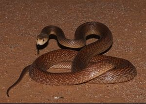 Coastal Taipan (Oxyuranus scutellatus) Australia's most dangerous land snake. This is a dangerously venomous species with strongly neurotoxic venom.  It possesses the third most toxic land snake venom known.  Many human deaths have resulted from bites by this species. Highly aggressive and will bite repeatedly