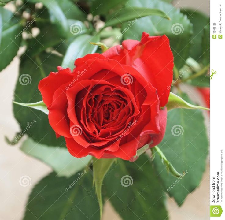A beautiful rose with some green leaves