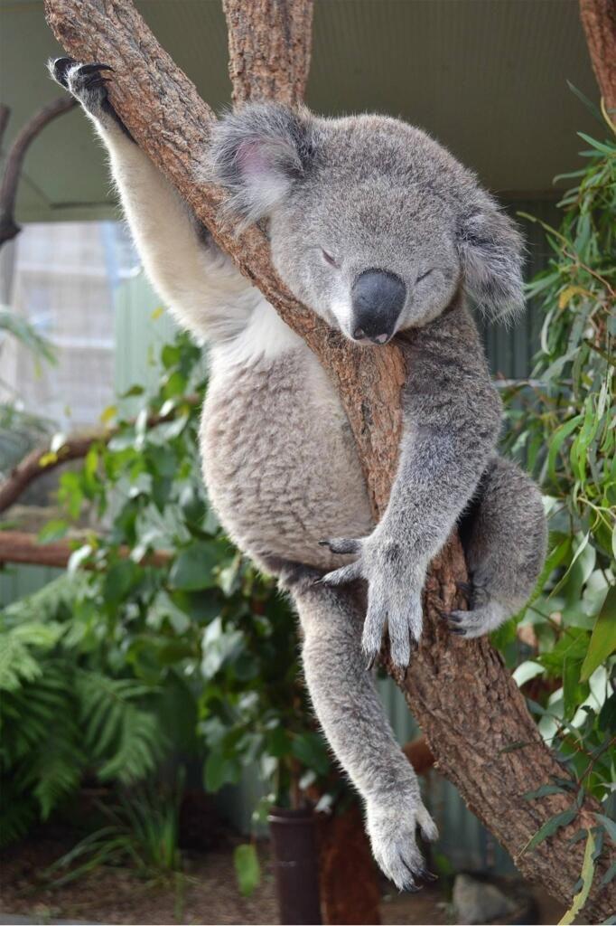 Looks like he's strumming an air guitar!! Kirsten Henry @Kirsten Wehrenberg-Klee Wehrenberg-Klee Henry Sleepy koala!