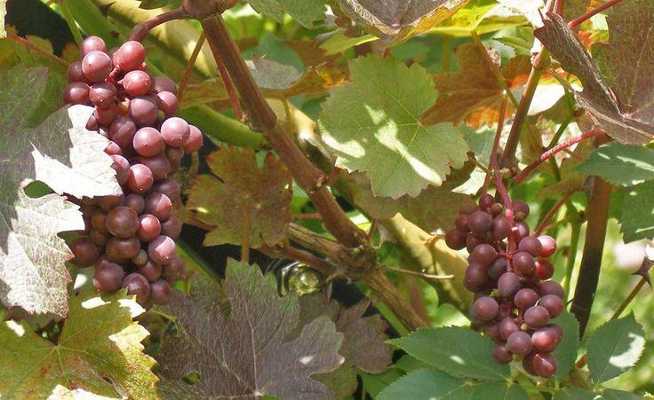 Wie im professionellen Weinbau ist es auch im Hausgarten ratsam, Weinreben im Sommer zu schneiden. Beim Sommerschnitt werden überflüssige Triebe entfernt, lange Schösslinge eingekürzt und Geiztreibe in den Blattachseln ausgezwickt.