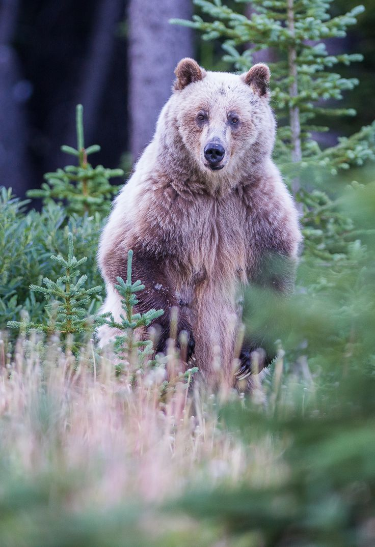 Blonde grizzly bear in Alberta, Canada