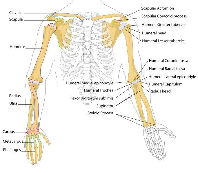 File Human Arm Bones Diagram Svg
