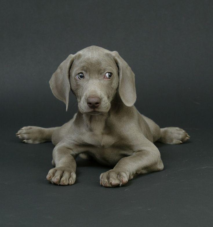 Weimaraner: Animals, Cute Puppies, Dogs, Pet, Puppys ...