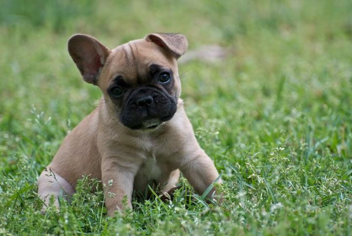 French bulldog tan - photo#8