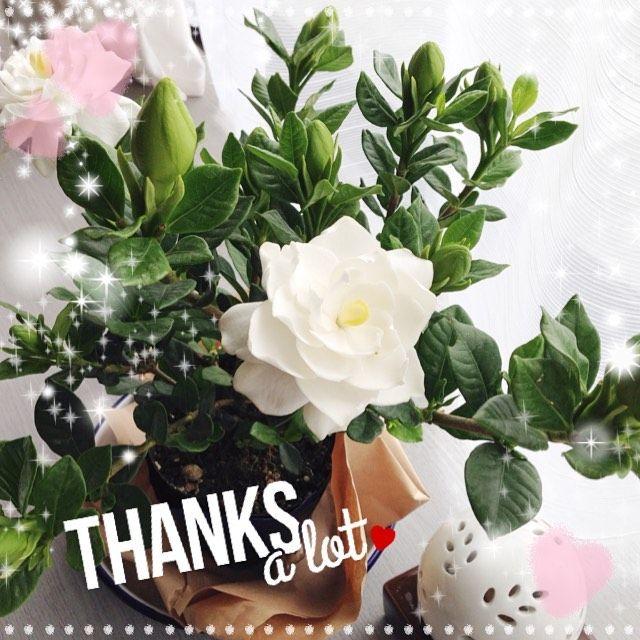 とっても好きな香りのひとつ ガーデニア ってどんな花 って聞かれることもありますが和名で言うくちなしのこと この時期のとってもいい香り 最初は白い花びらでだんだんクリーム色になっていく 私の大好きな花の香り お部屋にいながらこの香りを楽しめるのは初めて