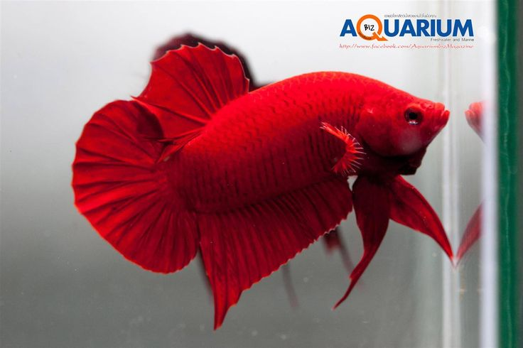 1000 images about big fish betta fish guppy fish on for Betta fish friends