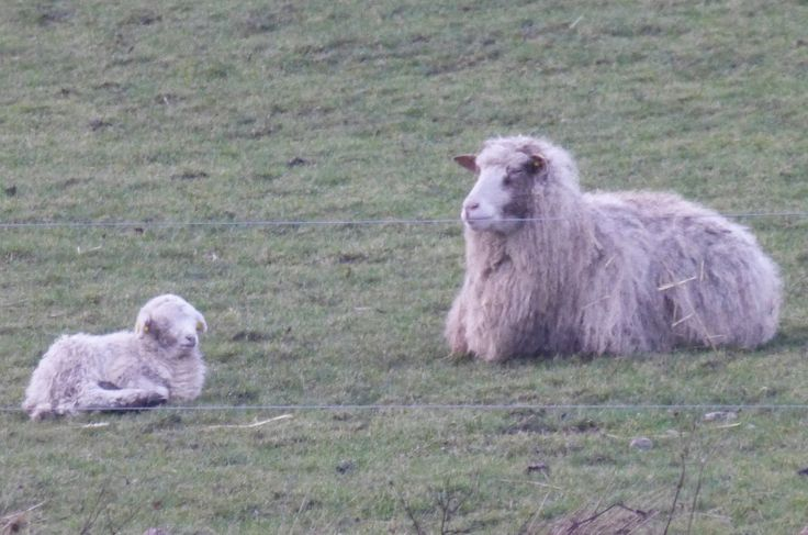 Sheep and lambs in my field.  Februar 2014