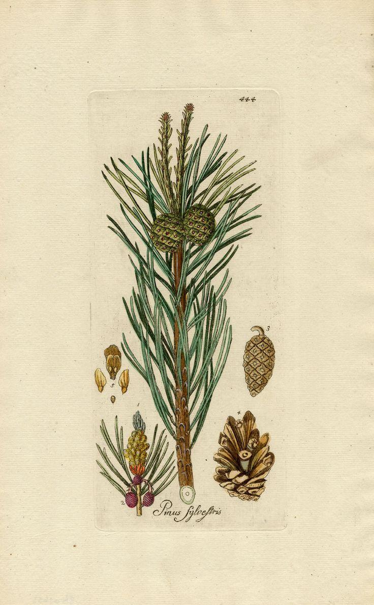 Pinus sylvestris botanical drawing