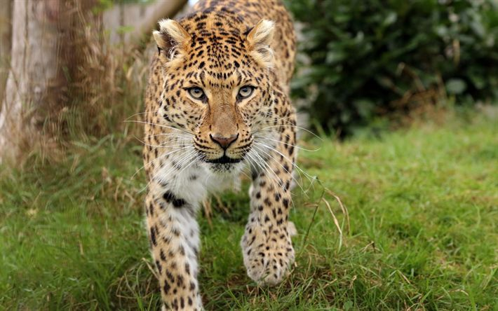 Download wallpapers leopard, wild cat, predator, wildlife, wild animals
