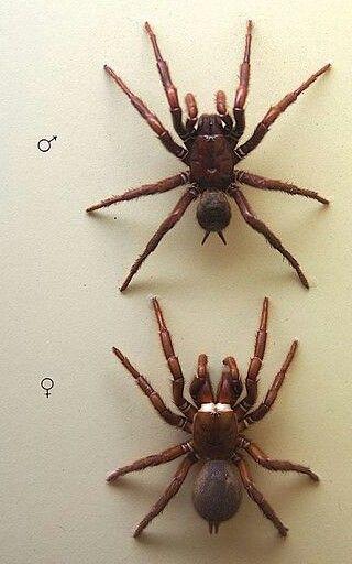 Australia's Best-Sydney Funnel Web Spider