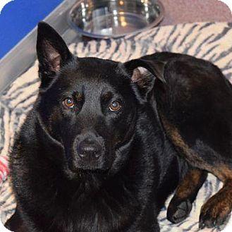 Chow Chow/Shepherd (Unknown Type) Mix Dog for adoption in Denver, Colorado - Aurora