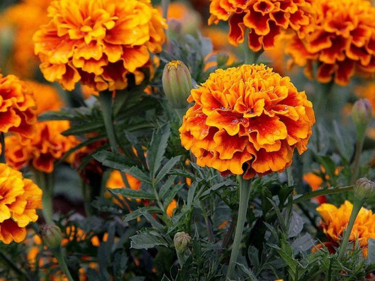 Como Y Porque Plantar Tagete En El Huerto o cempasuchil una flor que aparte de bonita nos ayudara contra los nematodos, pulgones o cochinillas imprescindible en nuestro huerto o huerto urbano