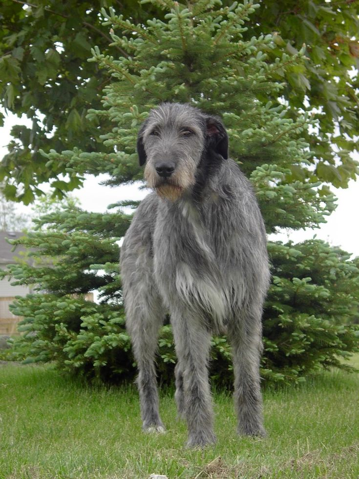 Wolfhounds don't always want to please their owners, as independent thinkers…
