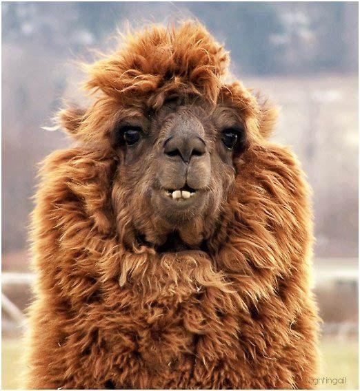 Des alpagas avec des coiffures folles   Alpacas, Animal and Llama alpaca