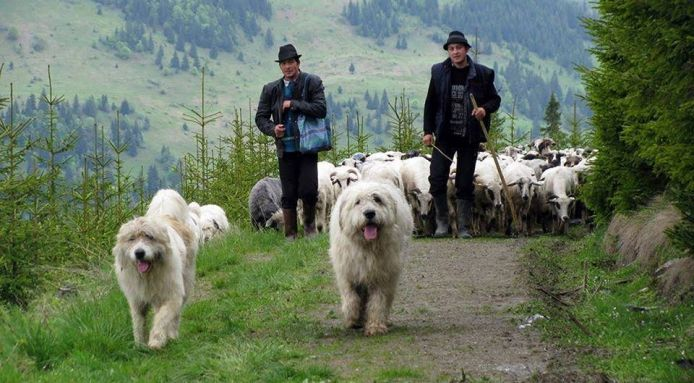 """The """"Romanian Baracul"""" is a massive fluffy dog covered in thick fluffy hair. It might be white, or it might be pale gray , but should have a """"vigorous"""" appearance. Did we mention that it's big and fluffy? """"Baracul"""" is the popular local name for the Romanian Mioritic Shepherd Dog, a breed deeply rooted in Romanian history and the Carpathian Mountains. It's said that the oldest images of these dogs appear as carvings on the Roman column of the Emperor Trajan (98 AD – 117 AD), Calm, vigilant…"""