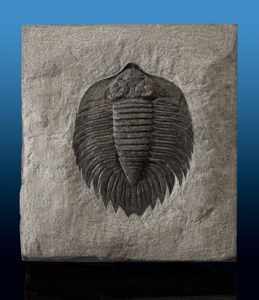 Trilobite Fossil Arctinurus boltoni Middle Silurian Rochester Shale Formation Middleport, New York, USA