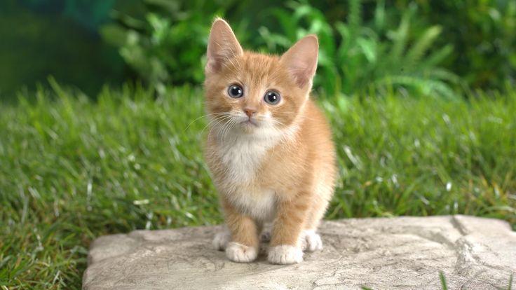 Cute Kitten Wide Wallpaper