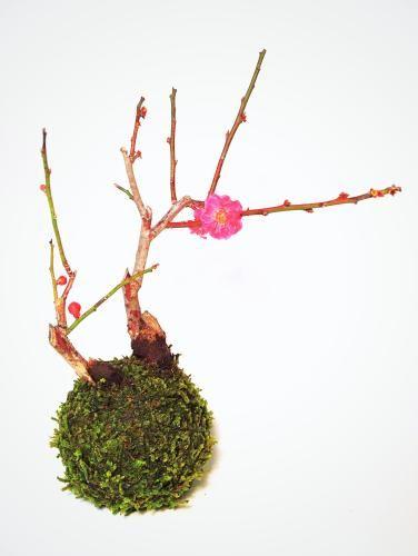 苔玉(唐梅) - tito mossball, BONSAI