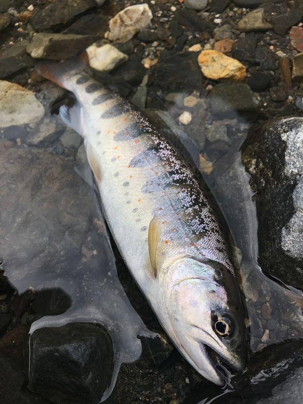 ブログを更新しました「運の悪いアマゴ」  #アマゴ #安曇川 #CDCダン
