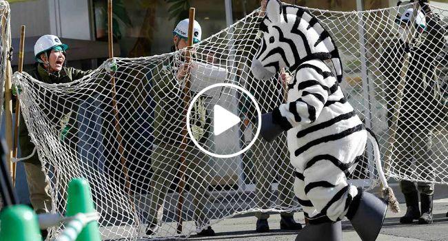 Trabalhadores Do Jardim Zoológico Simulam Captura De Zebra, Usando Homem Vestido De Zebra
