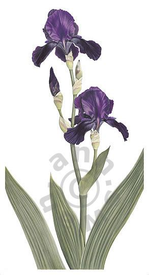 Ann Swan - Dark Purple Tall Bearded Iris