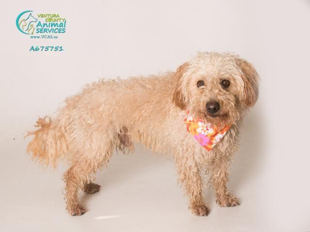 Poodle (Miniature) dog for Adoption in Camarillo, CA. ADN-710352 on PuppyFinder.com Gender: Male. Age: Adult