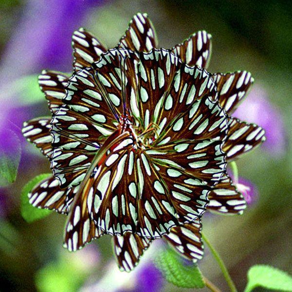"""Full Circle"" - California Frittelary Butterfly"