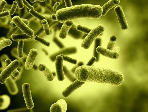Probiotic Bifidobacteria may boost cognition in anxious mice: Study
