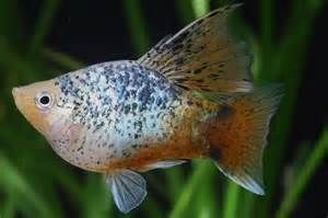 Platy Tropical Fish - I thought this was a balloon molly but apparently its Platy! Whoda thunk?
