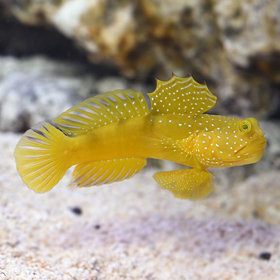 Saltwater Aquarium Fish For Marine Aquariums Yellow Prawn Goby Saltwater Fish Tanks Marine Fish Best Aquarium Fish