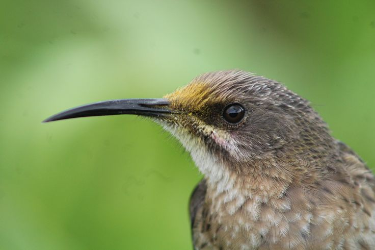 Cape Sugarbird up close