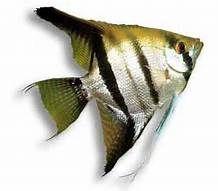 informacion sobre el pez limpia pecera e imagenes - My Yahoo Image Search Results