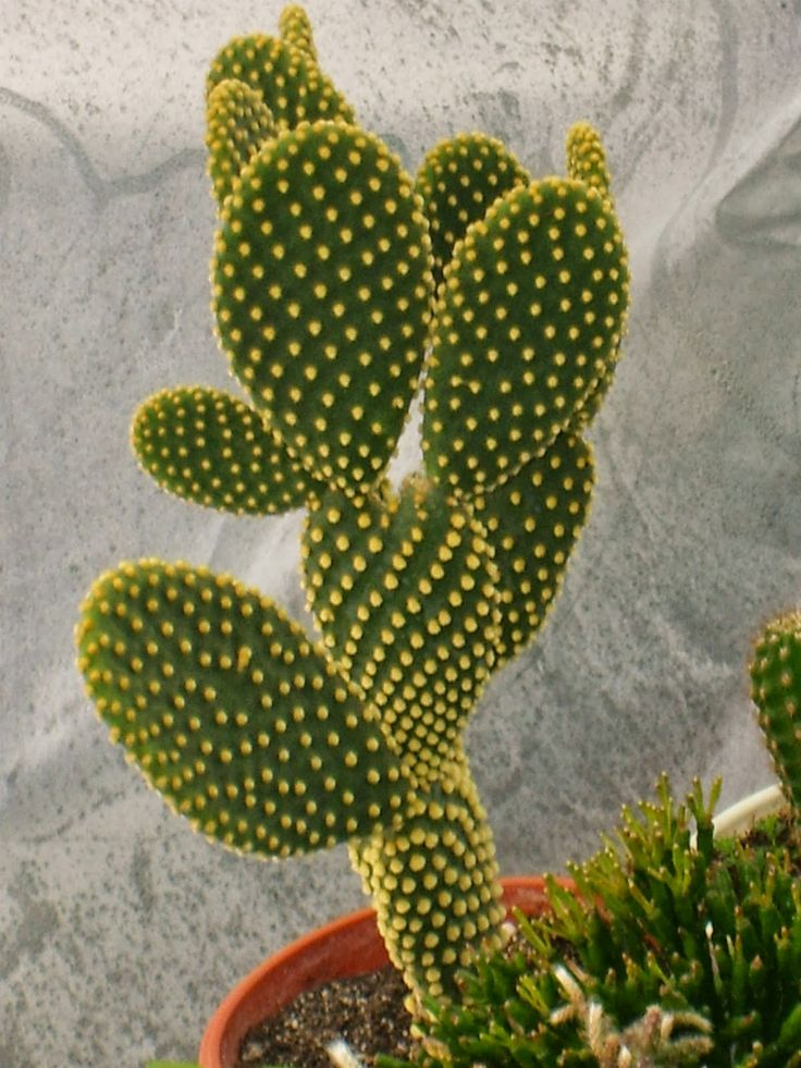Bunny Ear Cactus (Opuntia microdasys)