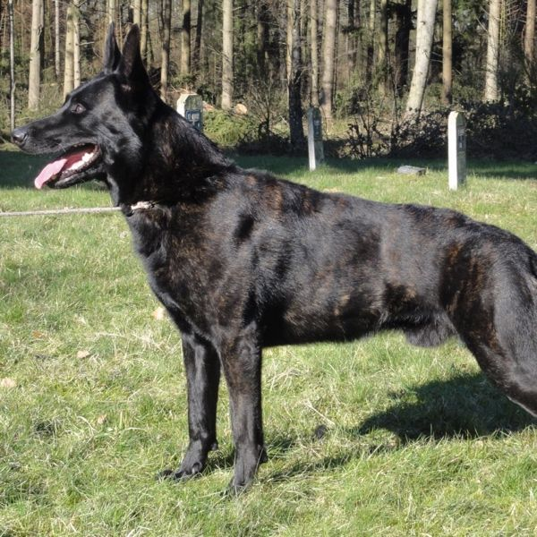 Boas Dutch Shepherd Family Protection Dog Texas Family Protection Dogs Guard Dogs For Sale Police K9