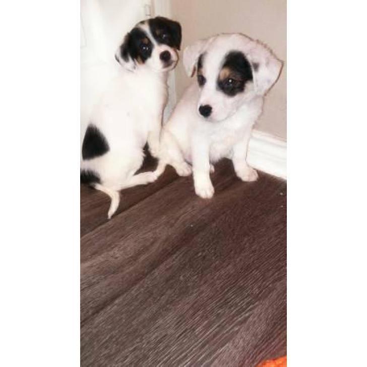 Corgi terrier mix puppies for sale