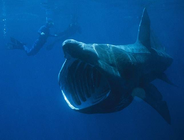 This creature may appear terrifying, but no worries — basking sharks are slow-moving gentle giants that use their gaping mouths to passively collect and filter zooplankton and other small marine creatures.
