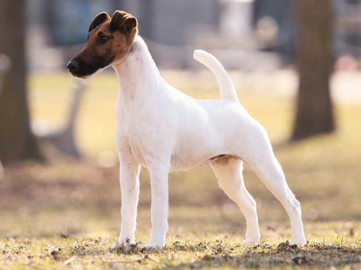 Fox Terrier ( Smooth Fox Terrier ) - Dog Breed Standards