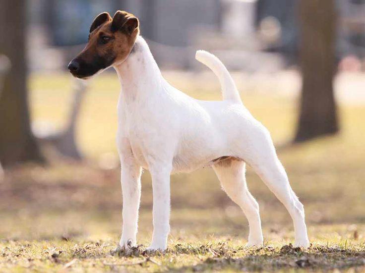 Fox Terrier ( Smooth Fox Terrier ) - Dog Breed Standards