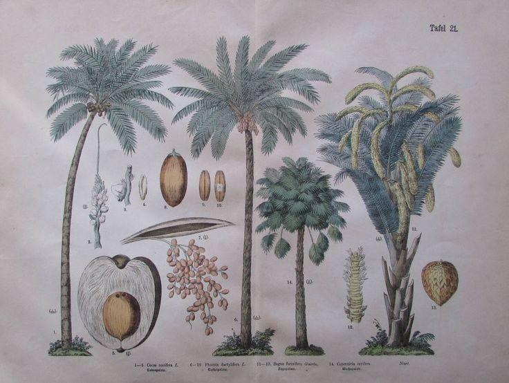 aus ca. 1890 Palmen Tafel 21 - Großfoliotafel  koloriert Pflanzenreich Botanik